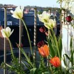 tulpen3